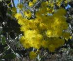 Golden Wattle Akazie Bluete gelb Acacia pycnantha 06
