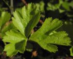 Golderdbeere Blatt gruen Waldsteinia fragarioides 01