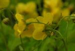 Golderdbeere Bluete gelb Waldsteinia fragarioides03