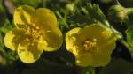 Golderdbeere Bluete gelb Waldsteinia fragarioides 07