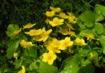 Golderdbeere Bluete gelb Waldsteinia fragarioides 10