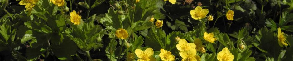 golderdbeere-bluete-gelb-waldsteinia-fragarioides
