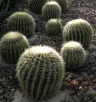 Goldkugel Kaktus gruen Stacheln hellgelb Echinocactus grusoniii 01