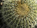 Goldkugel Kaktus gruen Stacheln hellgelb Echinocactus grusoniii 05