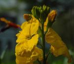 Goldlack Bluete gelb Erysimum cheiri 07