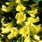 Goldregen Bluete Laburnum anagyroides 01