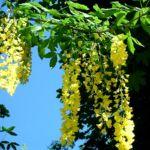 Goldregen Bluete Laburnum anagyroides 03