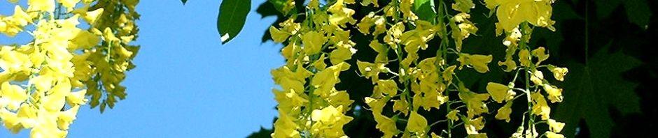 gemeiner-goldregen-bluete-gelb-laburnum-anagyroides