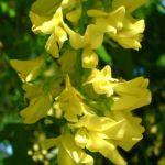 Goldregen Bluete Laburnum anagyroides 04