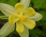 Goldsporn Akelei Bluete gelb Aquilegia chrysantha0 0
