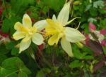 Bild:  Goldsporn-Akelei Blüte gelb Aquilegia chrysantha