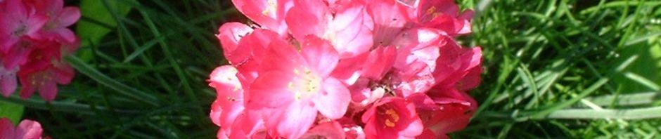 grasnelke-blatt-gruen-bluete-pink-armeria-maritima