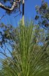 Grasbaum Blatt gruen Dolde braun Xanthorrhoea australis 04