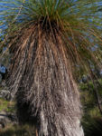 Grasbaum Blatt gruen Dolde braun Xanthorrhoea australis 07 1