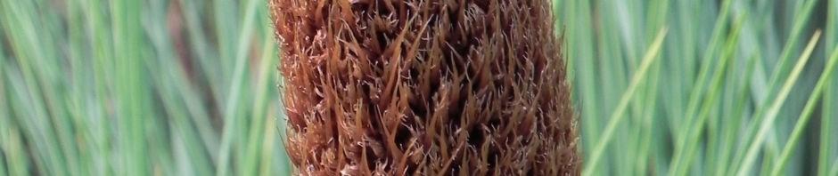 grasbaum-blatt-gruen-dolde-braun-xanthorrhoea-australis