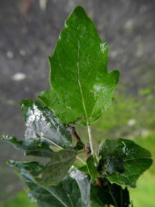 grau Pappel Blatt gruen Populus x cannescens 03