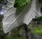 grau Pappel Blatt gruen Populus x cannescens 05