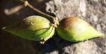 Graue Schwalbenwurz Frucht gruen braun Vincetoxicum canescens 02