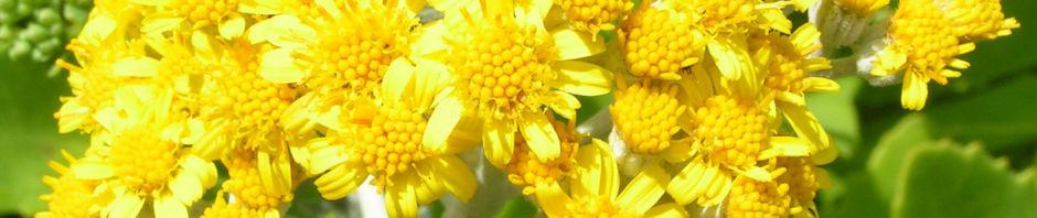 weissfilziges-greiskraut-silbrig-bluete-gelb-senecio-cineraria