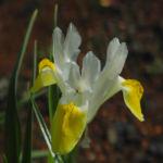 Großartige Schwertlilie Bluete gelb Iris magnifica 01