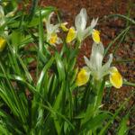 Großartige Schwertlilie Bluete gelb Iris magnifica 07