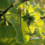 Grosse KLette Blatt gruen Arctium lappa 07