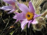 Grosse Kuhschelle Bluete lila gelb Pulsatilla vulgaris 01