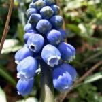 Grosse Traubenhyazinthe Muscari racemosum 01