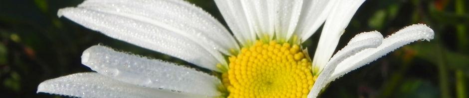 magerwiesen-margerite-bluete-weiss-chrysanthemum-leucanthemum