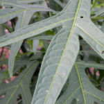 Grosser Kaenguruapfel Kangaroo Apple Frucht orange blatt gruen Solanum laciniatum 04