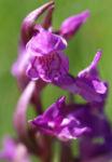 Grosses Knabenkraut Bluete pink Orchis muscula 01