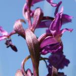 Grosses Knabenkraut Bluete pink Orchis muscula 03