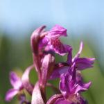 Grosses Knabenkraut Bluete pink Orchis muscula 05
