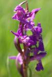 Grosses Knabenkraut Bluete pink Orchis muscula 06