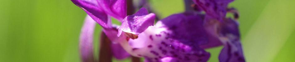 maennliches-knabenkraut-bluete-pink-orchis-mascula