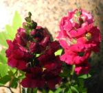 Grosses Loewenmaul Blute rot Antirrhinum majus 04