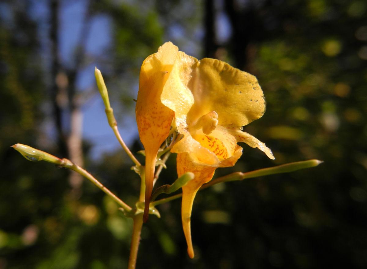 Grosses Springkraut Bluete gelb Impatiens noli tangere