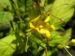 Zurück zum kompletten Bilderset Großes Springkraut Blüte gelb Impatiens noli-tangere