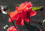 Grossfiedrige Dahlie Bluete rot Dahlia pinnata 02