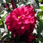 Grossfiedrige Dahlie Bluete rot Dahlia pinnata 03