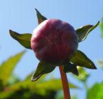 Bild:  Grossfiedrige Dahlie Blüte rot Dahlia pinnata