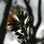 Guinea Flower Bush Pea Blüte orange gelb Pultenaea mollis 03