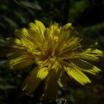Habichtskraut Hieracium sylvestris 02