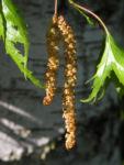 Haenge Birke Baum Betula pendula 04