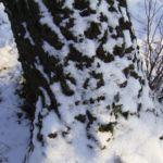Haenge Birke Rinde Schnee Betula pendula 01