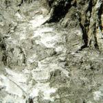 Haenge Birke Rinde grau Betula pendula 01