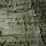 Haenge Birke Rinde weiss Betula pendula 02