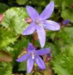 Haengepolster Glockenblume Bluete blau Campanula poscharskyana 03