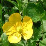 Hahnenfuss Ranunculus acris 03