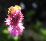 Hain Salbei Blatt gruen Salvia nemorosa 03